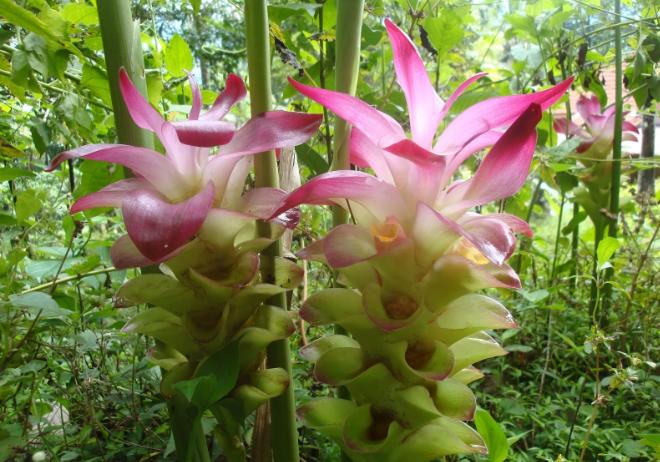 Куркума фото растения