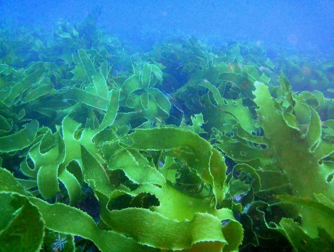 Морские водоросли для волос