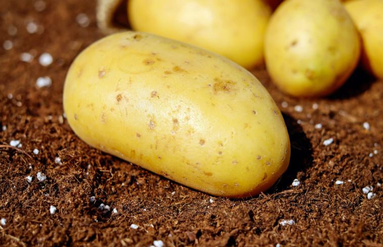 Картошка для правильного картофельного пюре
