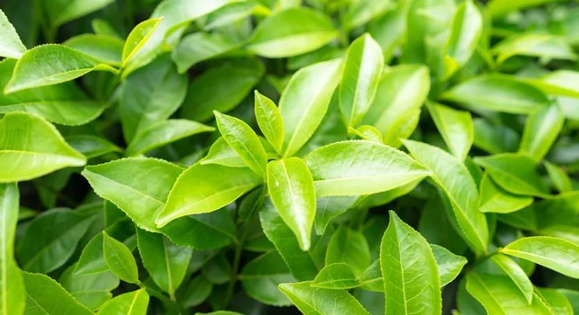 Листья чая фото